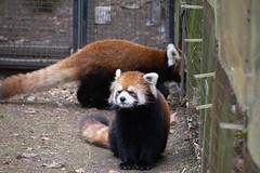 IMG_0385 (neatnessdotcom) Tags: prospect park zoo brooklyn animal wcs new york city tamron 18270mm f3563 di ii vc pzd canon eos rebel sl3 digital slr camera 250d red panda ailurus fulgens
