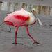 Roseate Spoonbill - Platalea ajaja, Merritt Island National Wildlife Refuge, Titusville, Florida