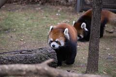 IMG_0393 (neatnessdotcom) Tags: prospect park zoo brooklyn animal wcs new york city tamron 18270mm f3563 di ii vc pzd canon eos rebel sl3 digital slr camera 250d red panda ailurus fulgens