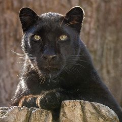 Mystique, Kissed by the Morning Sun (Penny Hyde) Tags: amurleopard bigcat blackleopard blackpanther leopard melanisticleopard sandiegozoo