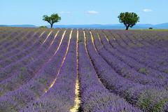 P1140704 (alainazer) Tags: valensole provence france fiori fleurs flowers fields champs ciel cielo sky colori colors couleurs lavande lavanda lavender arbre albero tree