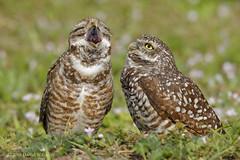 The Yawn (danielusescanon) Tags: wild animal bird burrowingowl florida pair athenecunicularia strigiformes strigidae couple