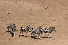 Down in the dry Waterbed  ( Zebra ) (Pixi2011) Tags: zebra krugernationalpark southafrica afica wildlifeafrica wildanimals animals nature
