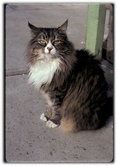 Beloved Sarah (M. Beltran) Tags: minoltaxgm slr film kodachrome64 35mm sarah cat chat gato beloved sentientbeing animal animaux animale 50mmmd minolta f11125thsec mainecoon feline kodak tabby kitty