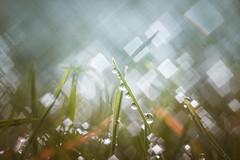Grass Bokeh (Dhina A) Tags: sony a7rii ilce7rm2 a7r2 a7r meoptabelar 75mm f45 meoptabelar75mmf45 prime manuallens enlarginglens enlarging squarebokeh square bokeh 4blades grass water droplets drops