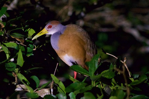 Russet-naped Woodrail