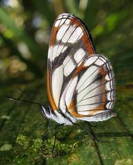 Eresia letitia (hippobosca) Tags: eresialetitia insect lepidoptera butterfly nymphalidae ecuador macro