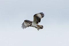 K32P3099a Osprey, Lackford Lakes, September 2019 (bobchappell55) Tags: osprey wild bird birdofprey nature wildlife lackfordlakes suffolk pandionhaliaetus