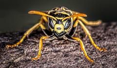 Head On (Wes Iversen) Tags: macro michigan polistesfuscatus saginaw shiawasseenationalwildliferefuge tokina100mmf28atxprod bugs insects nature paperwasp wasps