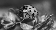 On His Way ... (AnyMotion) Tags: asianladybeetle harlequin asiatischermarienkäfer harlekinmarienkäfer harmoniaaxyridis ladybird insect insekt käfer bug tiere animals parsley petersilie leaves blätter 2019 plants pflanzen anymotion macro makro makroaufnahmen nature natur garden garten frankfurt 6d2 canoneos6dmarkii bw blackandwhite sw urbanwildlife