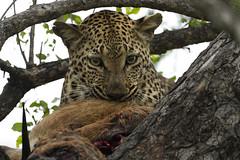 Impala breakfast (timopfahl) Tags: leopard eating impala eat tydonbushcamp tydon bush camp safari sabisands southafrica