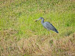 🇺🇸 Little Blue Heron EG 8889 (vickyoutenphoto) Tags: vickyouten littleblueheron wildlife nature nikon nikond7200 nikkor55300mm evergladesnationalpark florida usa