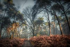 Growing together (Ingeborg Ruyken) Tags: ochtend morning sunrise tree forest 500pxs natuurmonumenten boxtel natuurfotografie autumn fall kampina herfst