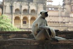 Langur Monkey at Orchha (steve_whitmarsh) Tags: city urban building architecture india animal nature monkey orchha topic