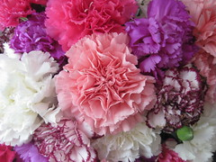 New Year Carnations in Pink, Russet, Magenta and White (raaen99) Tags: newyear newyearseve newyearseve2019 happynewyear celebration festival festive festivities carnation dianthus caryophyllus pink magenta white russet red candystripe flowers floral flora petal petals enmasse massed bunched bunchofflowers floralarrangement fern asparagusfern green dianthuscaryophyllus table tabletop vase glass glassvase arrangement