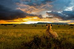 watching sunset (PhilHydePhotos) Tags: africa cheetah duma feline mammals safari seasonofsmallrains serengeti tanzania wildlife cats predator