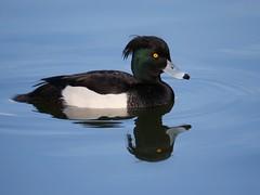 Tufted duck (PhotoLoonie) Tags: tuftedduck waterbird duck reflection waterreflection wildlife nature