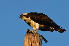 Osprey, Pandion haliaetus (Dave Beaudette) Tags: birds osprey pandionhaliaetus tucson pimacounty arizona
