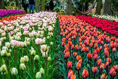 Tulip split (Tony Shertila) Tags: cruise europe pig lisse zuidholland netherlands 20170412105552 keukenhof tulip flower row garden