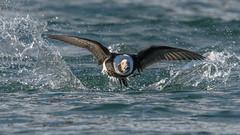 Liftoff (Paul McGoveran) Tags: bif bird birdinflight burlington burlingtonliftbridge duck lakeontario longtailedduck nature nikon500mmf4 nikond850 ontario wings coth5 ngc