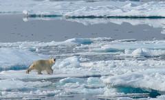 Arctic Swimmer (F VDS) Tags: polar bear greenland sea marine mammal arctic ocean hypercarnivore drift ice flickrdiamond diamondclassphotographer