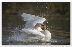 En Alsace : bain du nouvel an ! (C. OTTIE et J-Y KERMORVANT) Tags: nature animaux oiseaux cygne cygnetuberculé alsace france