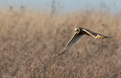 Short-Eared Owl (Steve (Hooky) Waddingham) Tags: animal bird british countryside canon nature owl short wild wildlife prey photography planet