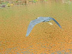 🇺🇸 Little Blue Heron EG 8878 (vickyoutenphoto) Tags: vickyouten littleblueheron wildlife nature nikon nikond7200 nikkor55300mm evergladesnationalpark florida usa