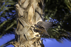Levant Sparrowhawk (Deepmike70) Tags: nature wildlife animal bird sparrowhawk