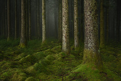 Pillars - Dartmoor Pine Project (www.neilburnell.com) Tags: pine project woodland trees forest landscape atmosphere mood z7 nikon moss ngc