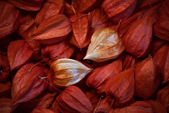 Lost and found - verloren und gefunden (ralfkai41) Tags: pflanze pflanzen wintercherry flower nature natur blume samen semen lampionblume physalisalkekengi closeup garden garten