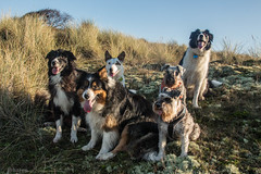 The Pack! (Explored) (sharongellyroo) Tags: ki dodge chloe peggy george nora bordercollie schnauzers walkies wintertononsea norfolk holidays christmas dunes inexplore