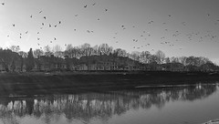 in riva al fiume (frastebio) Tags: fiume arno firenze alberi uccelli gabbiani cielo riflessi case monocromo bianconero