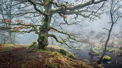 Winter's Oak (J C Mills Photography) Tags: peakdistrict derbyshire longshawestate padleygorge oaktree sessileoak winter gnarly fog river stream water outdoors no people landscape enchanted england
