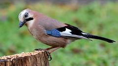 DSC_0645  Geai des chênes (sylvette.T) Tags: geai geaideschênes oiseau bird 2019 garrulusglandarius animal