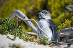 Baby Penguin (jeff_a_goldberg) Tags: bouldersbay capepeninsula africanpenguin southafrica baby penguin boulderspenguincolony tablemountainnationalpark naturalhabitatadventures nathab simonstown bouldersbeach westerncape