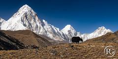 """Le yack et le Pumori"". Khumbu, Népal. (Raphaël Grinevald • Photographe) Tags: khumbu solukhumbu nepal pumori lobuche mount everest sagarmatha khumjung gorakshep national park himalaya nikon hiking mountains nature 3 pass landscape trekking trek d850 nikkor"