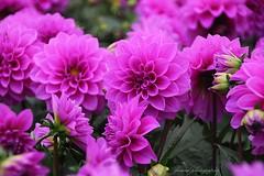 Dahlias (jackfre 2) Tags: dahlias flowers belgium antwerp
