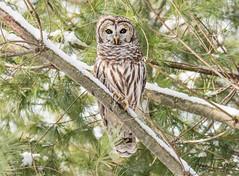 Mrs. Barred Owl (Anne Marie Fraser) Tags: barredowl barred owl nature snow wildlife forest tree winter bird raptor