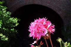Pink (DameBoudicca) Tags: france frankreich frankrike francia フランス albert somme pink rosa rose ピンク flower blomma blüte flor fiore fleur 花 はな