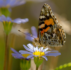 Painted lady Butterfly (m&em2009) Tags: lady butterfly painted blue brown flower yellow bug insect lens flora nikon pretty colours d7000 macro nature up close australia western albany macrounlimited 200mm