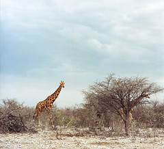 Far out 2019 (fotobloki) Tags: etosha nationalpark namibia kodakektar100 ektar100 roadtrip wildanimal safari giraffe 120 plustek120 opticfilm120 kodak filmphotography film mediumformat color contrast africa gamedrive 2019 adventure ontheroad sonnar150mmcf hasselblad 500c analoguetravelphotography analoguephotography