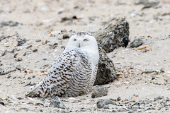 I am a Rock (Ben-ah) Tags: snowyowl rock bird birdsofprey white owl feather brownmarkings blackmarking jonesbeach longisland newyork ny canon90d 90d beach stones pebbles buboscandiacus featheredtalon hairy