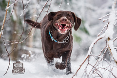 Picture of the Day (Keshet Kennels & Rescue) Tags: adoption dog dogs canine ottawa ontario canada keshet breed animal animals kennel rescue pet pets nature photography chocolate lab labrador retriever expression snarl teeth run play wink mouth open