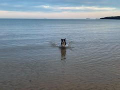 In the water (David JP64) Tags: sea bordercollie dog anglesey