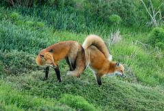 IMG_1719 (Gabriel Gabi) Tags: 7dii sigma california red fox