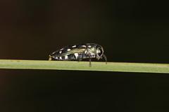IMG_0196ME jewel beetle (shoopard) Tags: jewelbeetle buprestidae green whitespots shiny metallic coleptera westernaustralia creykpark insect