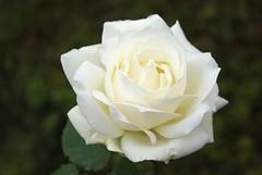Winter rose (ekaterina alexander) Tags: winter rose flower flowers white petals england sussex pictures ekaterina alexander photography