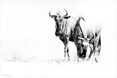 Wildebeests (He Ro.) Tags: africa afrika botswana safari shindecamp southernafrica wildebeests gnu mammal animal wild wilderness okavangodelta botsuana highkey bw blackwhite ngc