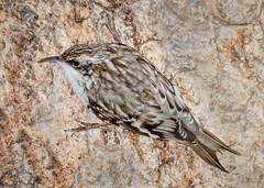 Brown Creeper (tresed47) Tags: 2019 201912dec 20191220chestercountybirds birds browncreeper canon7dmkii chestercounty content december fall folder home pennsylvania peterscamera petersphotos places season takenby us